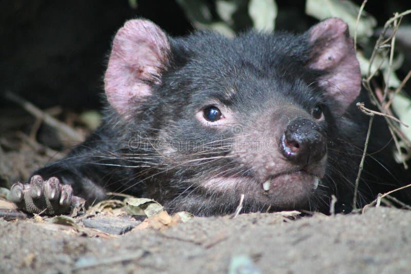 Tasmanischer Teufel-Stillstehen stockbild