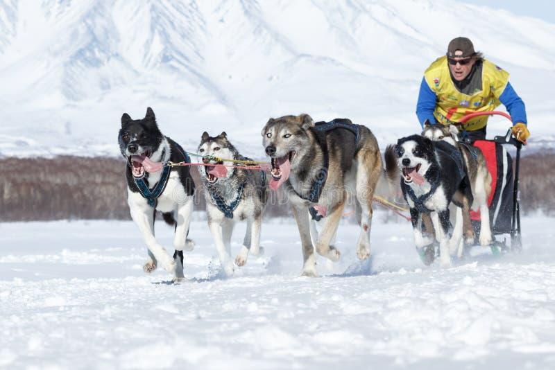 Tasse russe de disciplines de neige d'emballage de chien de traîneau, emballage de chien de traîneau du Kamtchatka Beringia photo stock