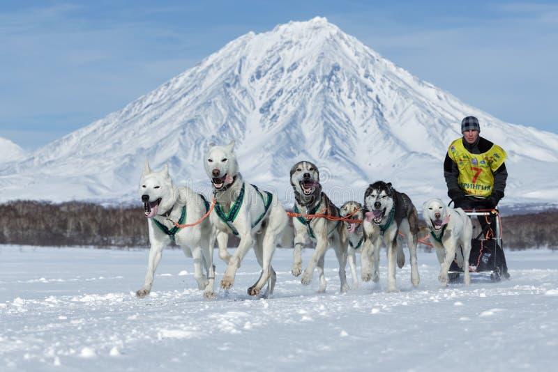 Tasse russe de disciplines de neige d'emballage de chien de traîneau, emballage de chien de traîneau du Kamtchatka Beringia photos stock