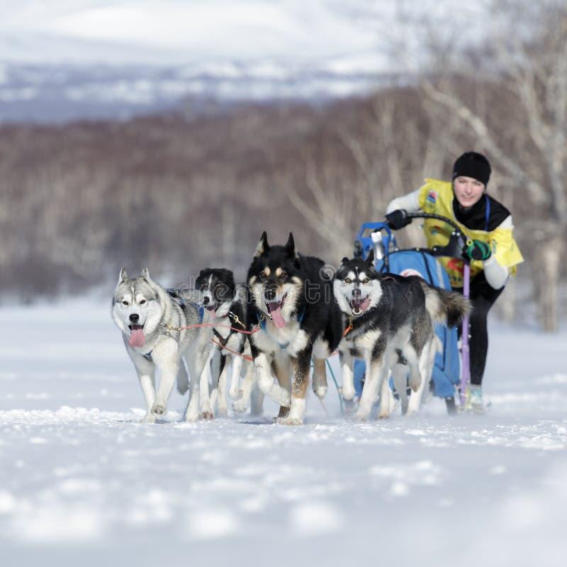 Tasse russe de disciplines de neige d'emballage de chien de traîneau, emballage de chien de traîneau du Kamtchatka Beringia photos libres de droits