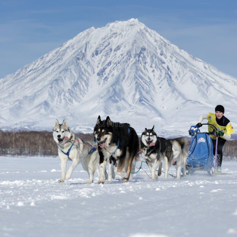 Tasse russe de disciplines de neige d'emballage de chien de traîneau, emballage de chien de traîneau du Kamtchatka Beringia images stock