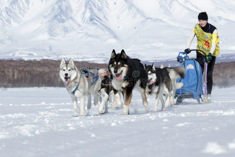 Tasse russe de disciplines de neige d'emballage de chien de traîneau, le Kamtchatka image stock