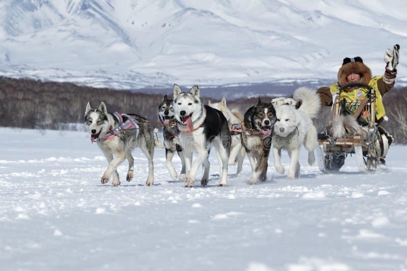 Tasse russe de disciplines de neige d'emballage de chien de traîneau, emballage de chien de traîneau de péninsule de Kamchatka Be image libre de droits