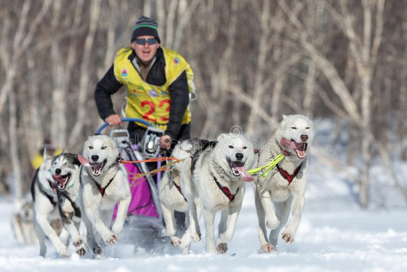 Tasse russe de disciplines de neige de traîneau de chien, course de chien de traîneau du Kamtchatka Beringiya images libres de droits