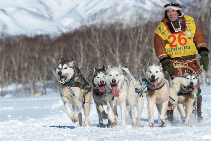 Tasse russe de disciplines de neige de traîneau de chien, emballage de chien de traîneau du Kamtchatka Beringiya photographie stock libre de droits