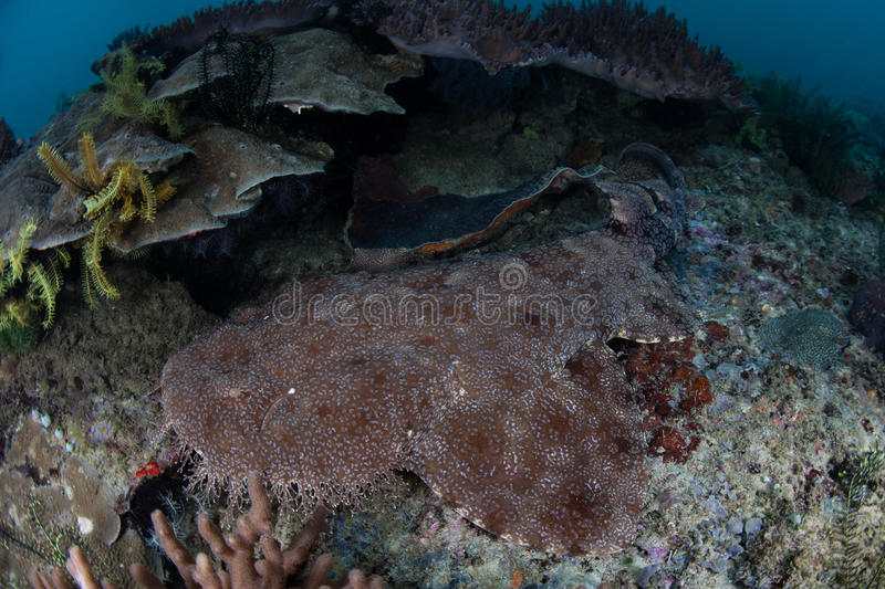 Tasseled Wobbegong Shark in Raja Ampat. A well-camouflaged Tasseled wobbegong shark lies on a coral reef in Raja Ampat, Indonesia. This remote region is known stock images