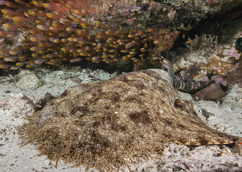 Tasseled Wobbegong Shark With Slender Sweepers Stock Image