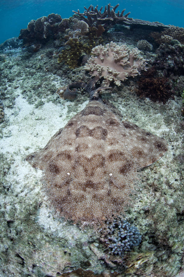 Tasselled Wobbegong Shark in Raja Ampat. A Tasselled wobbegong shark lies on the seafloor of Raja Ampat, Indonesia. This well-camouflaged predator is prevalent royalty free stock photography
