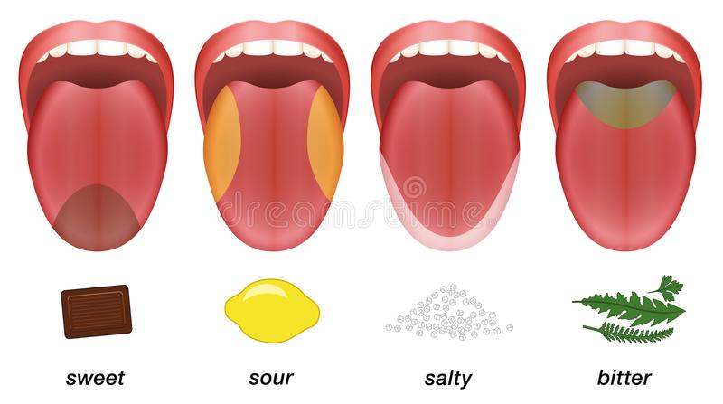 Taste areas tongue sweet sour salty bitter royalty free illustration