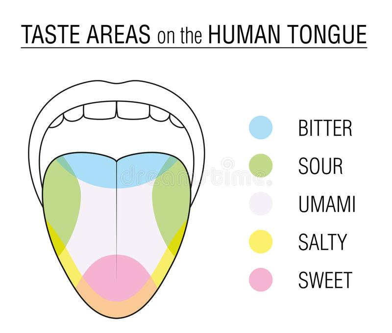 Taste Buds Colored Tongue Chart Stock Vector Illustration Of Food
