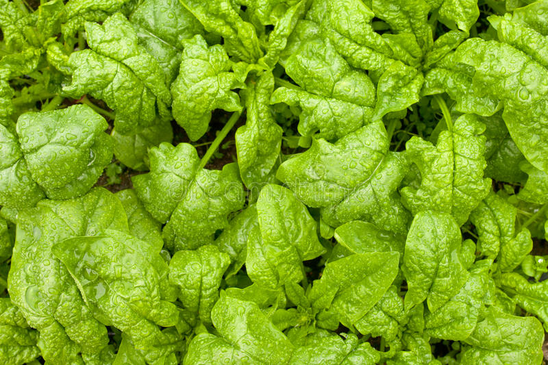 Download Tasty Crisp Spinach Growing In The Field In Rain Stock Photo - Image: 26020306