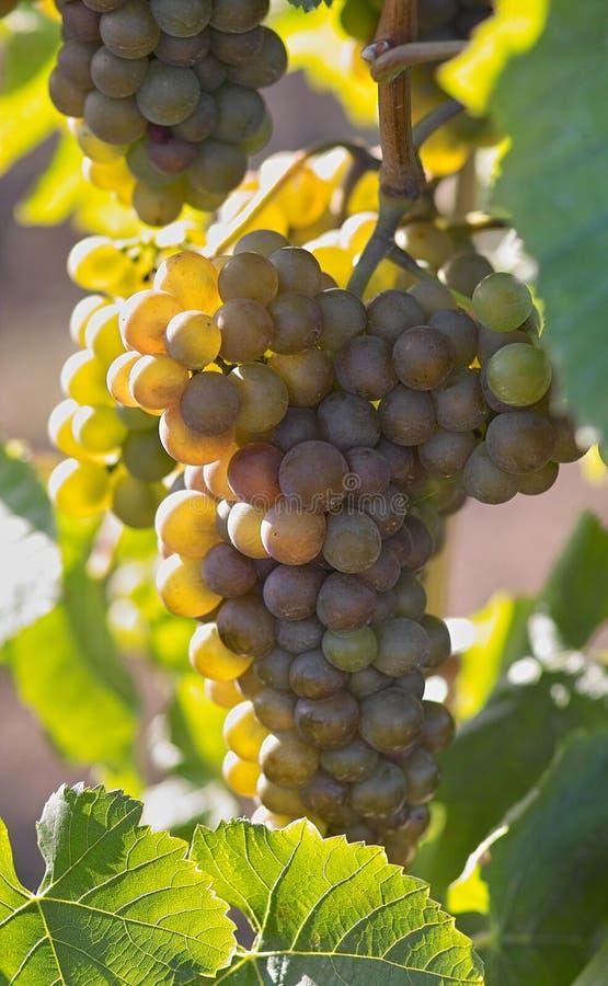 Tasty grapes stock photos