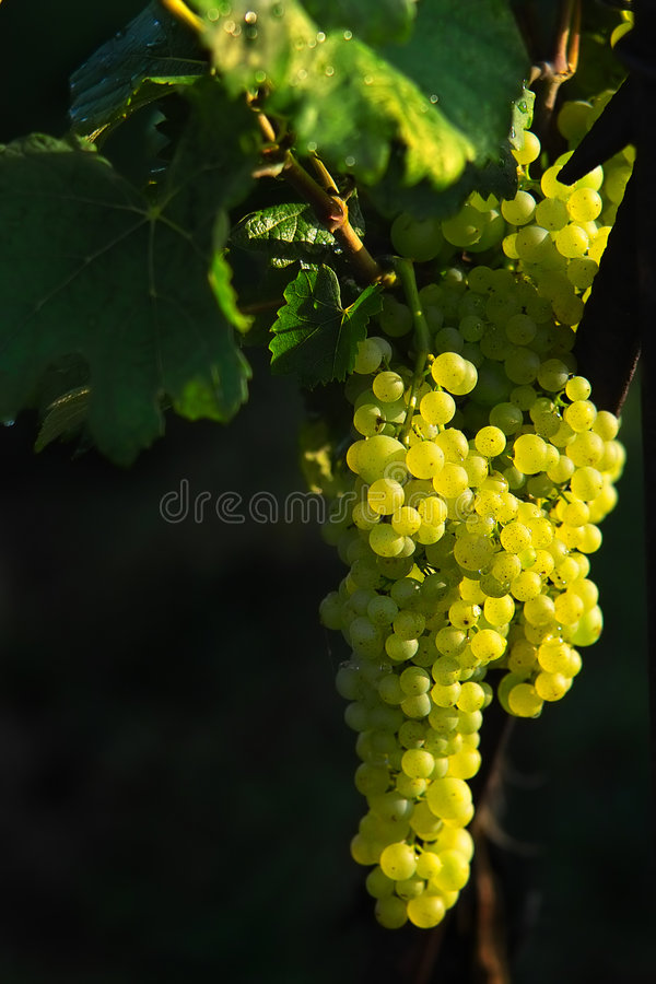 Download Tasty grapes on the black stock photo. Image of isolated - 210300