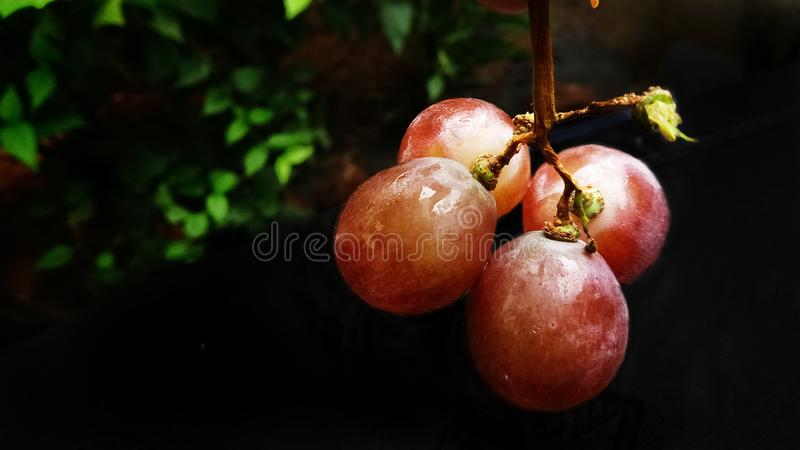 Tasty grapes with reddish color and beautiful background stock image