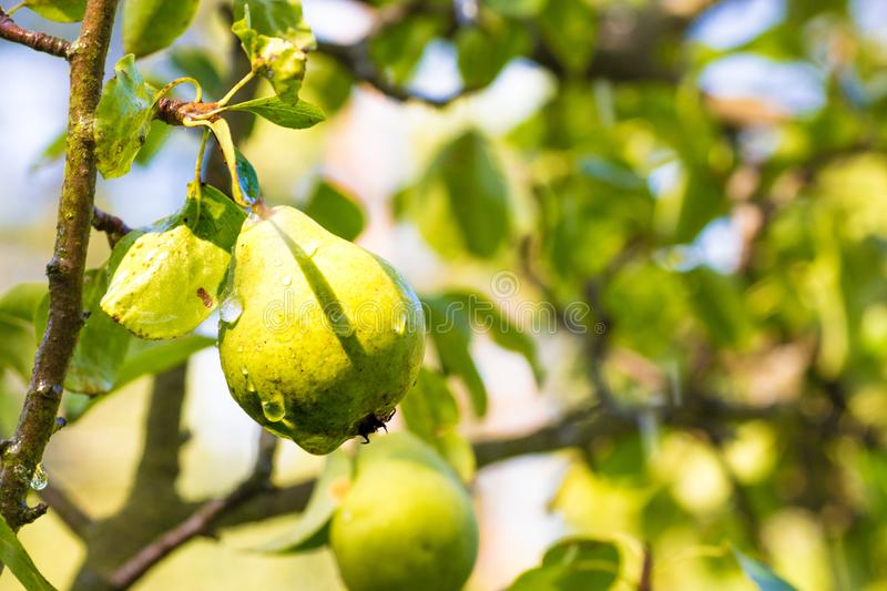 Tasty green pear with water drops on a tree in the summer in the garden stock image