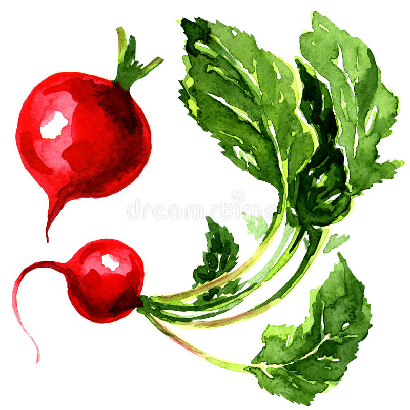 Tasty red garden radish royalty free illustration