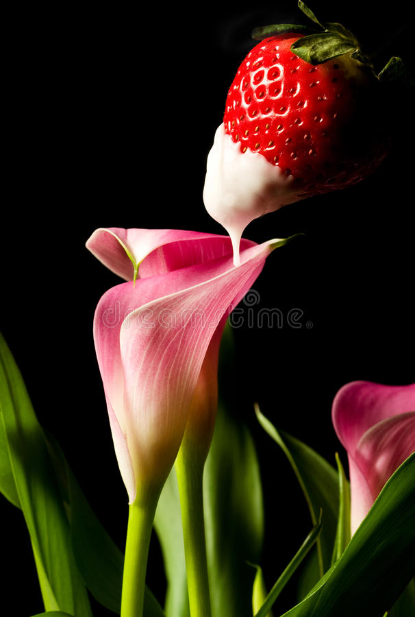 Tasty Seduction. White chocolate dipped strawberry drips erotically into calla lily stock photos