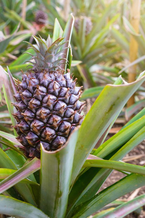Tasty sweet fruits. Growing pineapples in a greenhouse on the island of San Miguel, Ponta Delgada, Portugal. Pineapple is a symbol. Of the Azores royalty free stock images