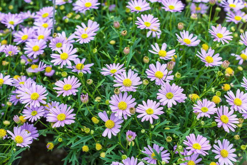 Tatarian aster's purple flowers blooming (Aster tataricus) royalty free stock photo