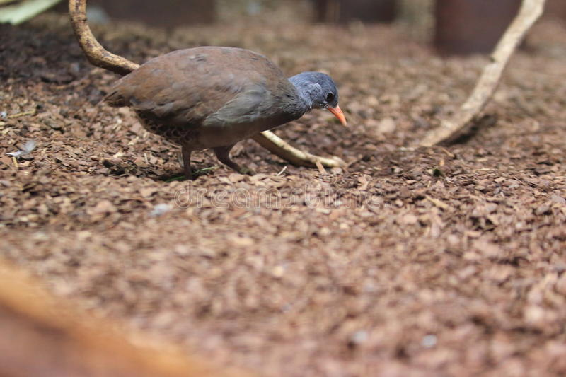 Tataupa tinamou. Strolling in the soil royalty free stock photos