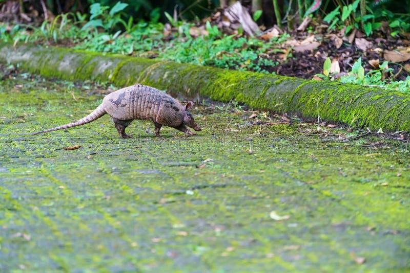 Tatou Neuf-réuni ( ; Dasypus novemcinctus) ; en Costa Rica image stock