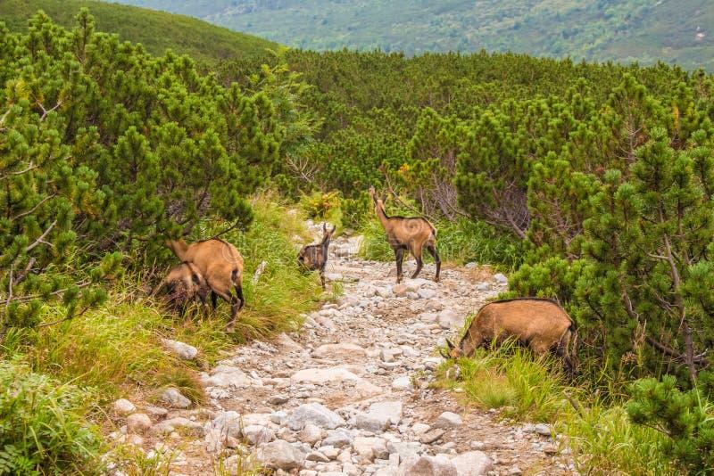 Tatra Mountains. Kozice on the mountain trail. Mountain landscape. Mountain hiking trail royalty free stock photo