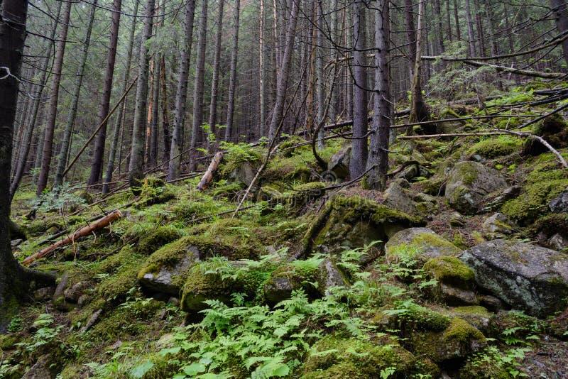 Tatrzańscy drewna zdjęcia royalty free