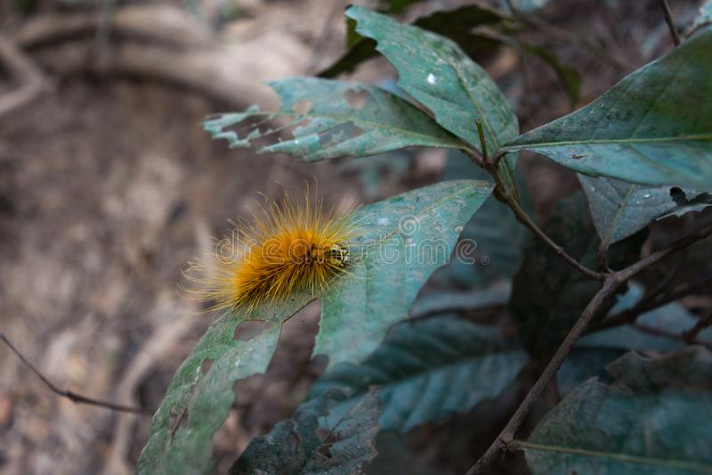 Yellow furry taturana known as fire caterpillarr. Taturana, also known as tatarana from the Tupi ancient tataûrana, `which looks like dark fire`, by the royalty free stock image
