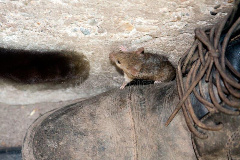 Tatze und Maus der schwarzen Katze lizenzfreie stockfotos