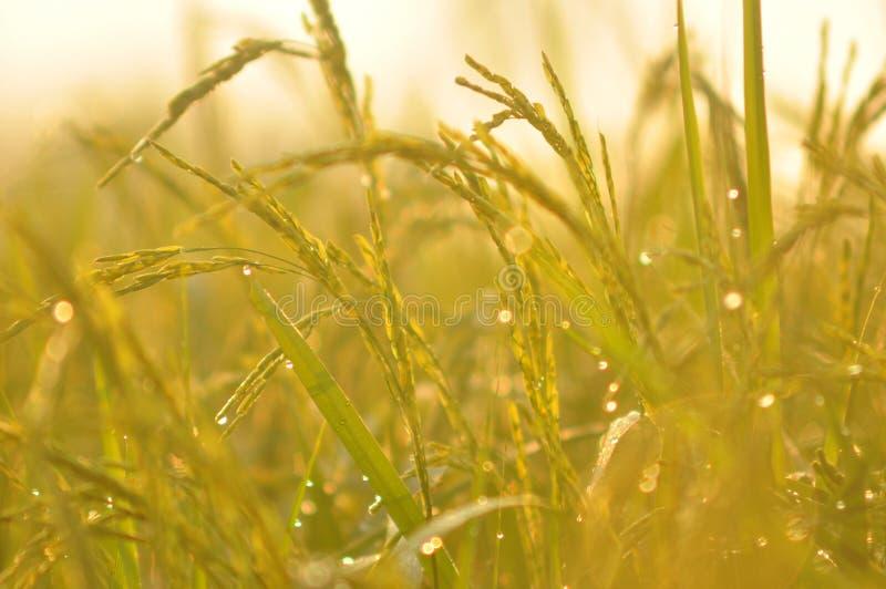 Tau auf dem Ohr des Paddys und den Blättern des Reises mit Sonnenaufgang im m lizenzfreie stockfotos