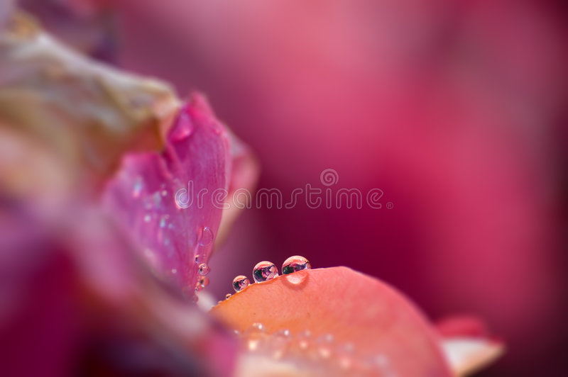 Tau auf einer Rose stockbild