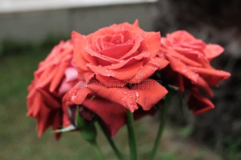 Tau auf einer roten Rose lizenzfreies stockbild