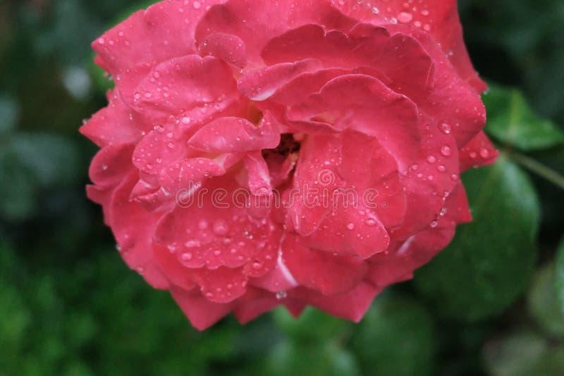Tau auf einer roten Rose lizenzfreie stockfotos