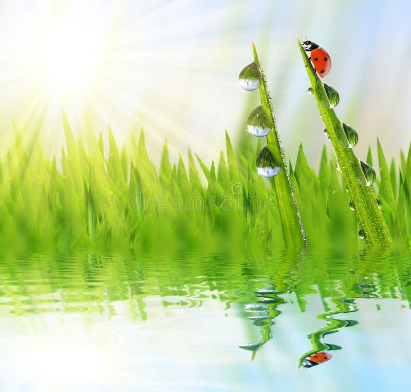 Tau auf grünem Gras und Marienkäfern stock abbildung