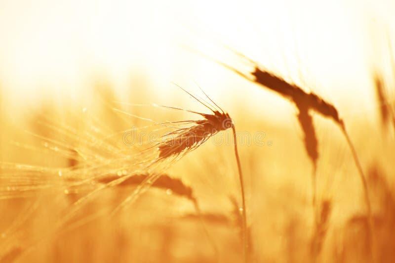 Tau auf hartem rotem Weizen stockfotografie