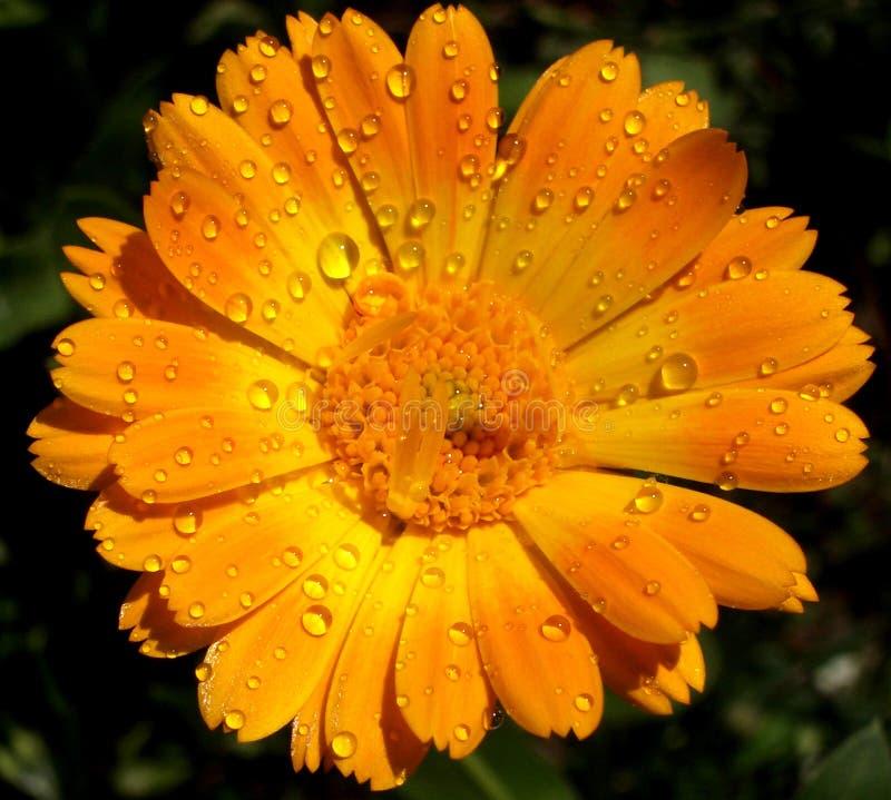 Tau-Blume stockbilder
