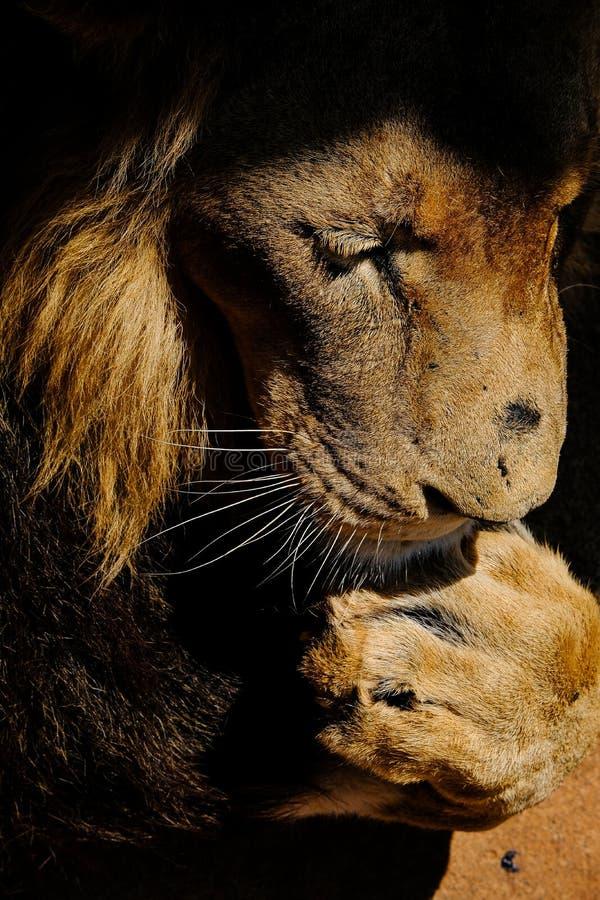 Tau, el león, lamiéndose la pata imágenes de archivo libres de regalías