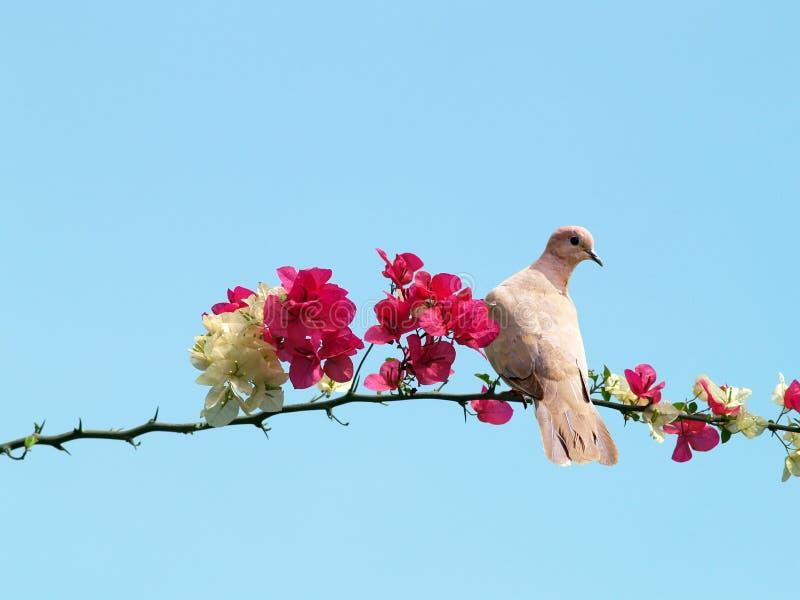 Taube auf blühendem Zweig lizenzfreies stockbild