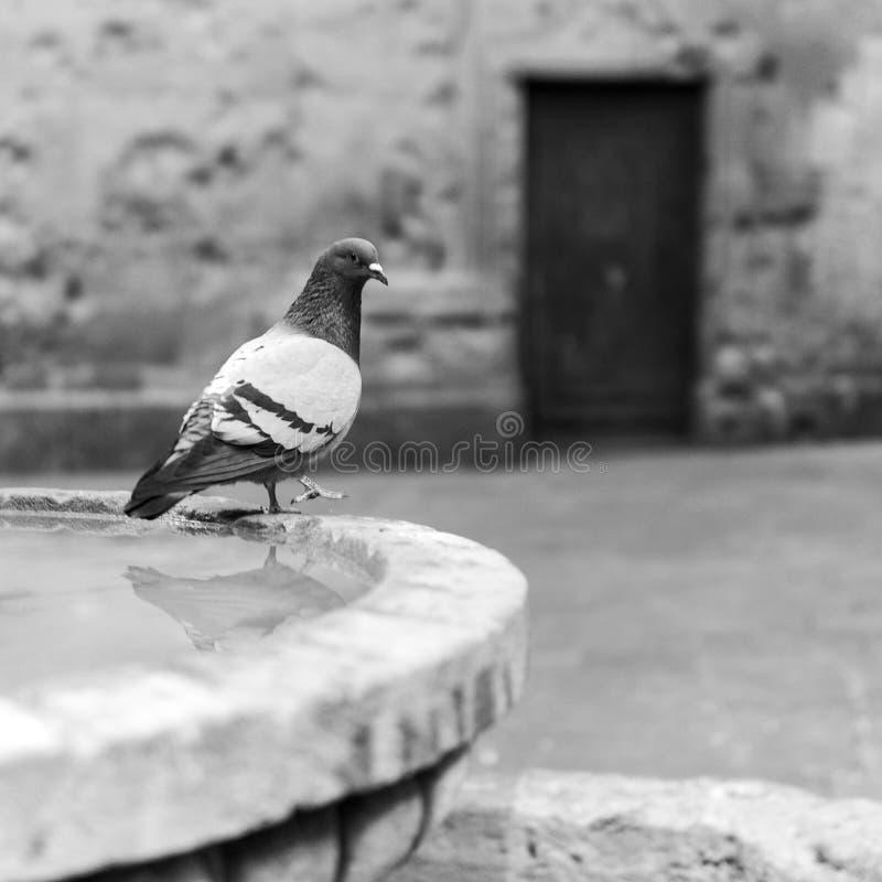 Taube auf einem Brunnen und einem Hintergrund von Altbauten stockfotografie