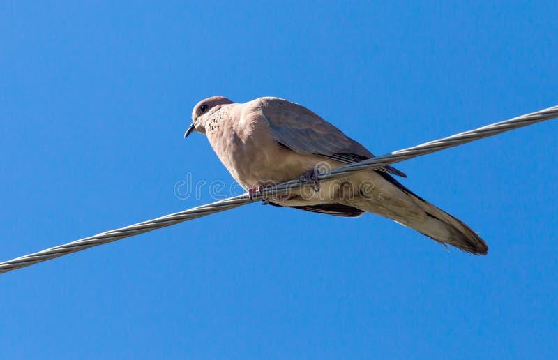 Taube Auf Einem Elektrischen Draht Auf Einem Hintergrund Des Blauen ...
