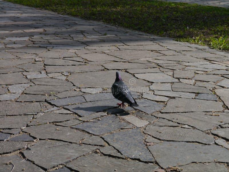 Taube auf einem Weg stockbilder