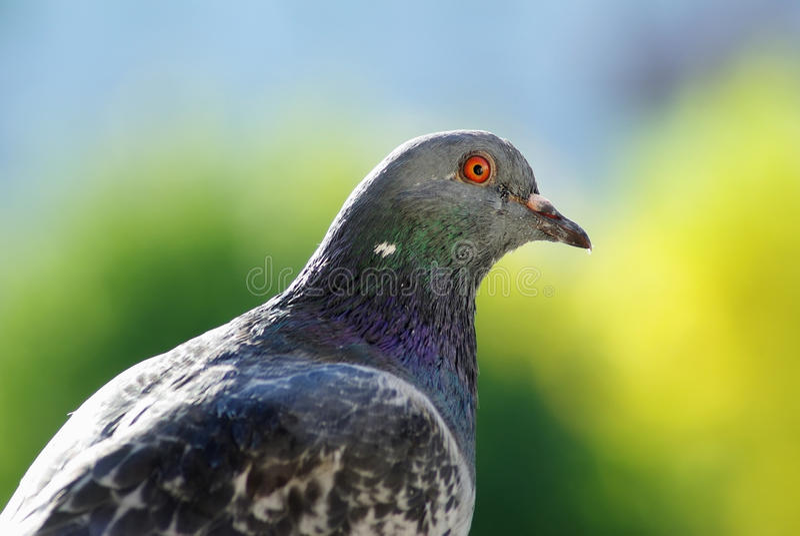 Taube auf grünem Hintergrund stockfotografie