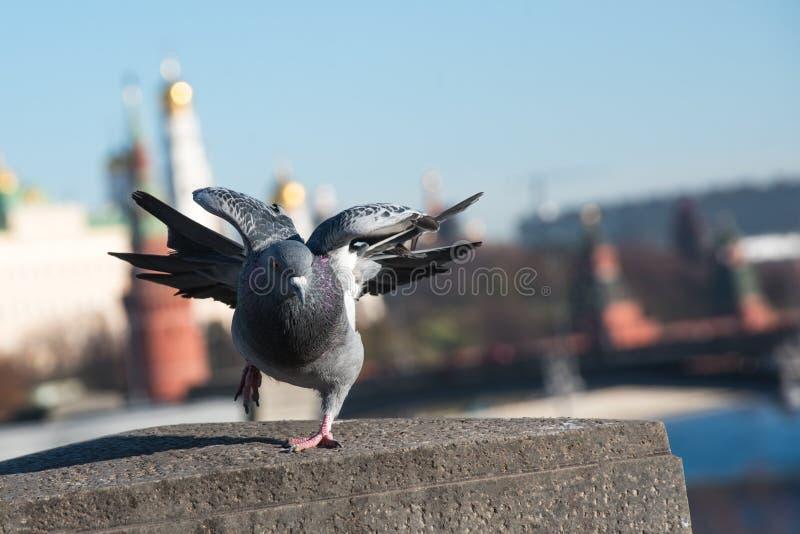 Taube auf Hintergrund der Stadt lizenzfreie stockbilder