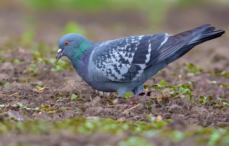 Taube, die auf bloßes einfaches Feld des Vorfrühlings mit einem Samen in seinem offenen Schnabel einzieht stockfotografie