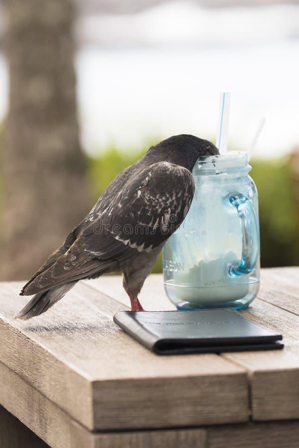 Taube, die auf Mischgetränk betrunken erhält lizenzfreie stockfotos