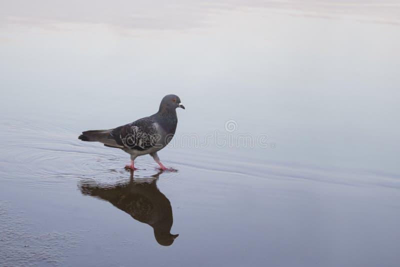 Taube, die auf Wasser geht lizenzfreies stockfoto