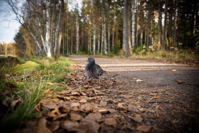 Taube, die in den Park geht stockbilder