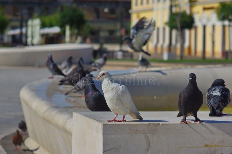Taube, die entlang des Wassers anstarrt stockbild