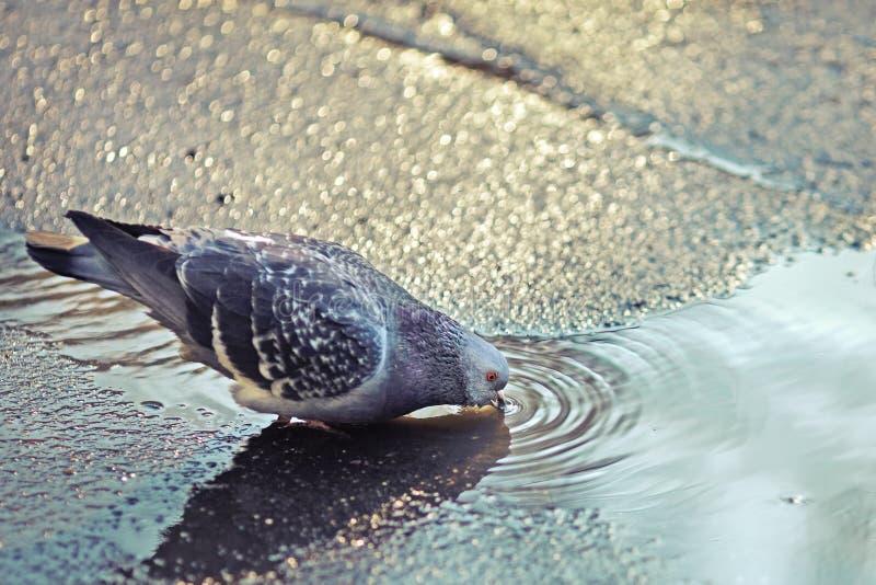 Taube, die von einer Pfütze am Frühlingstag trinkt lizenzfreies stockbild