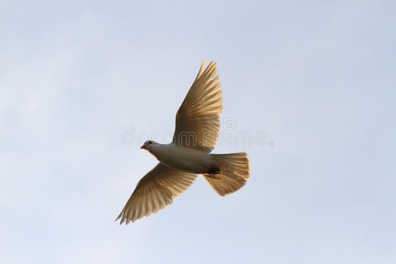 Taube fliegt zum Himmel bei Sonnenaufgang mit gerade gerichteten Flügeln lizenzfreies stockfoto